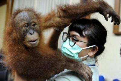 BKSDA Bali Translokasi Orangutan ke Sibolangit