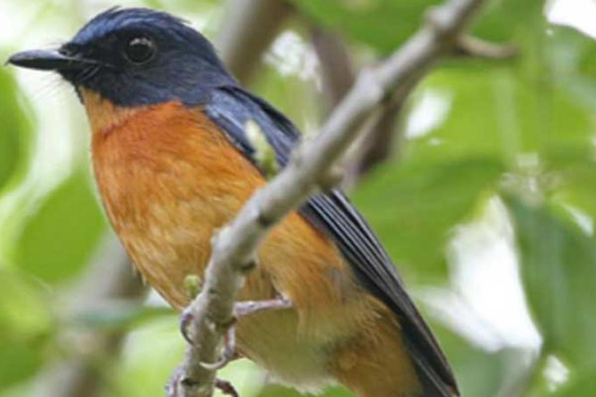 Spesies Burung Baru Ditemukan di Pulau Wallacean