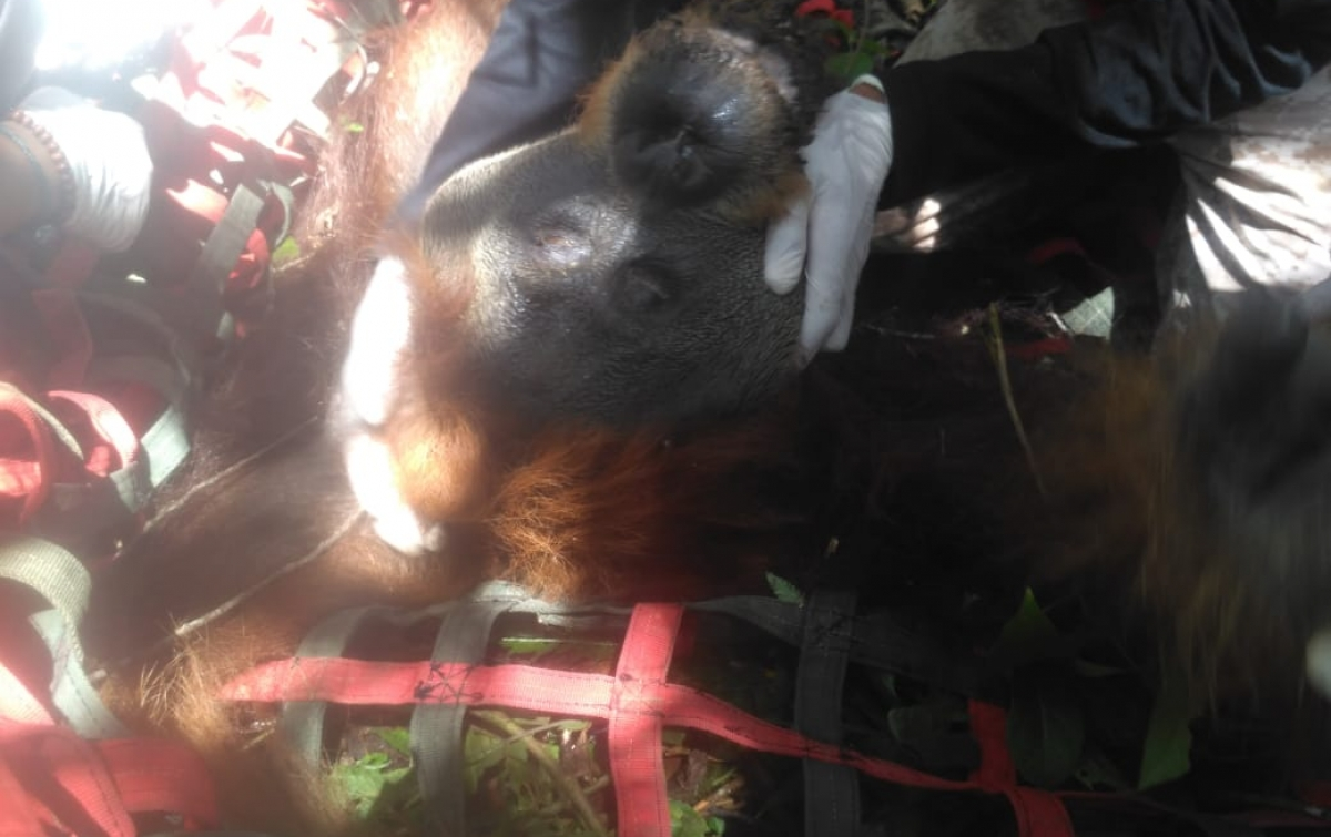 Balai Konservasi Lepasliarkan Orangutan Tapanuli