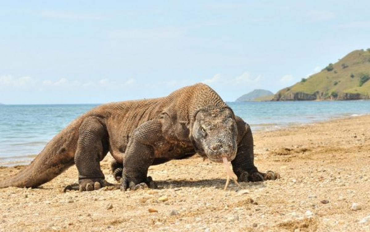 Komodo Memikat Wisatawan Asing ke Labuan Bajo