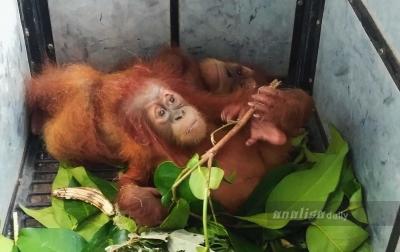 Orangutan Sumatera di Ambang Kepunahan
