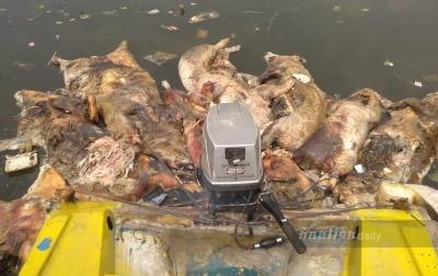 Akibat Hog Cholera dan ASF, 46.600 Ekor Babi Mati di Sumut
