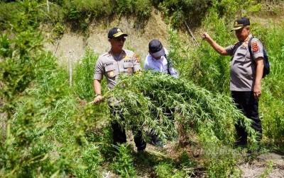Irjen Wahyu Musnahkan 25 Hektar Ladang Ganja di Gayo Lues