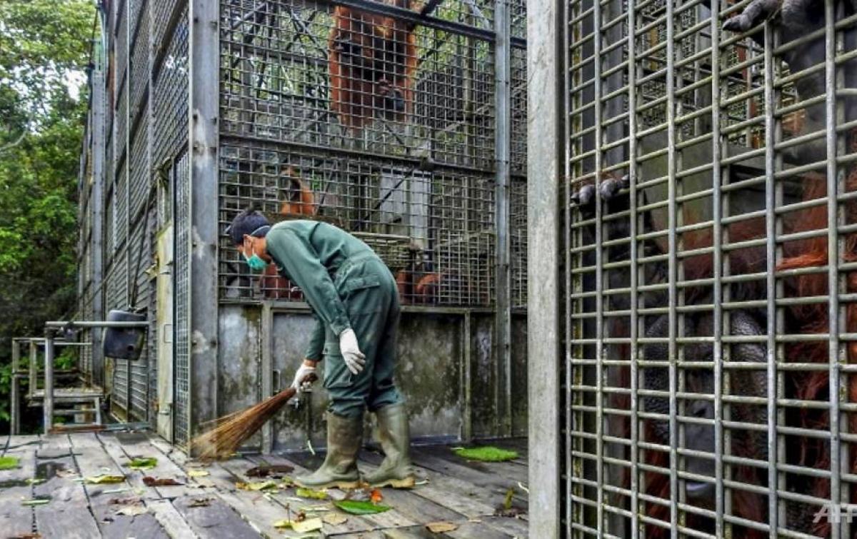 Khawatir Tertular, Rehabilitasi Orangutan Ditutup untuk Pengunjung