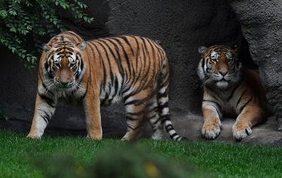 Harimau di Kebun Binatang AS Positif Terinfeksi Corona COVID-19