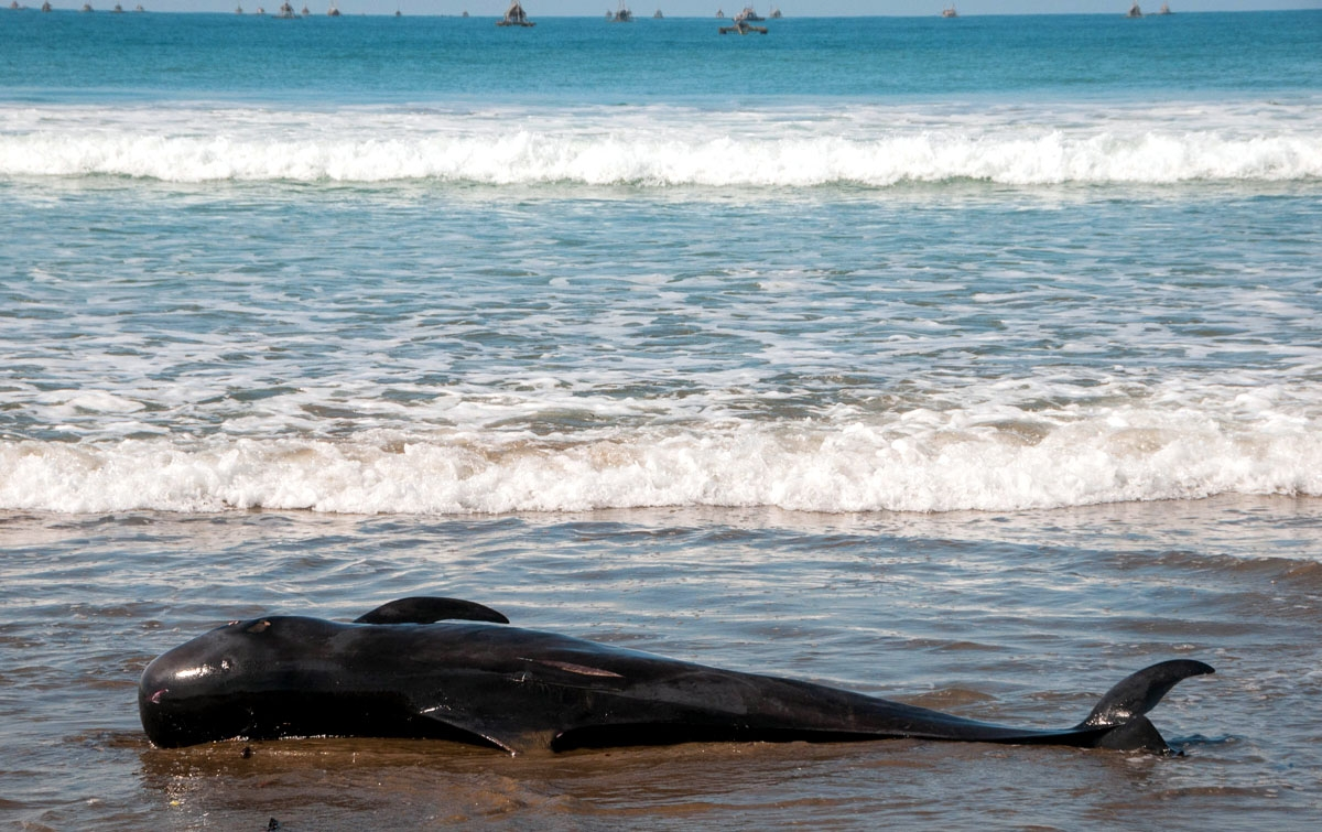 Foto: Paus Pilot Mati Terdampar