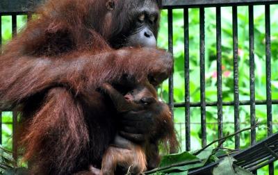 Foto: Kelahiran Bayi Orangutan Kalimantan