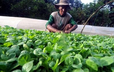 Pemerintah Diminta Tingkatkan Kesejahteraan Petani Tembakau