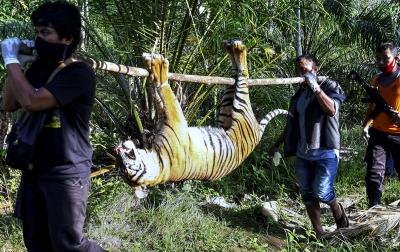 Foto: Harimau Sumatera Mati Akibat Racun