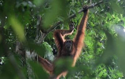 Upaya Lindungi Orangutan Tapanuli, Pemprov Sumut Bentuk KSP