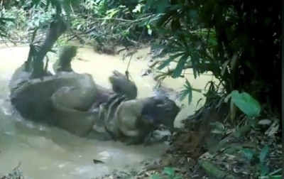 Badak Jawa Tertangkap Kamera di Taman Nasional Ujung Kulon