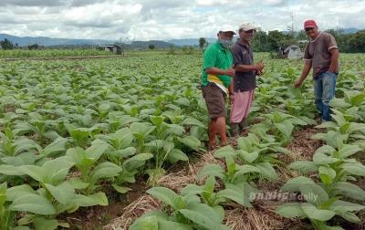 Petani di Lereng Sinabung Terus Kembangkan Tanaman Tembakau