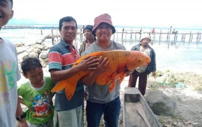 Ikan Mas Berbobot 15 Kilogram Didapat di Danau Toba