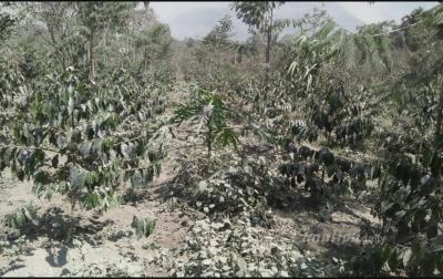 Gubsu Akan Buat Skenario Untuk Lahan Pertanian Terdampak Erupsi Sinabung