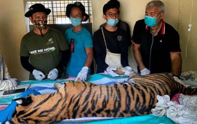 Harimau yang Ditangkap Tim BBKSDA di Tapsel Alami Anemia
