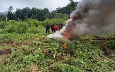 10 Hektare Ladang Ganja Ditemukan di Hutan Tanaman Industri