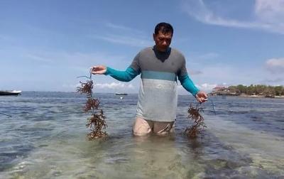 Warga Lembongan Kembali Budidayakan Rumput Laut