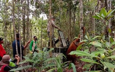 Orangutan Tapanuli Dilepasliarkan ke Cagar Alam Dolok Sipirok