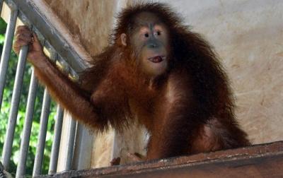Sembilan Orangutan Sumatera Diselundupkan Lewat Laut