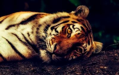 Seekor Harimau Sumatera Terjerat Perangkap Babi