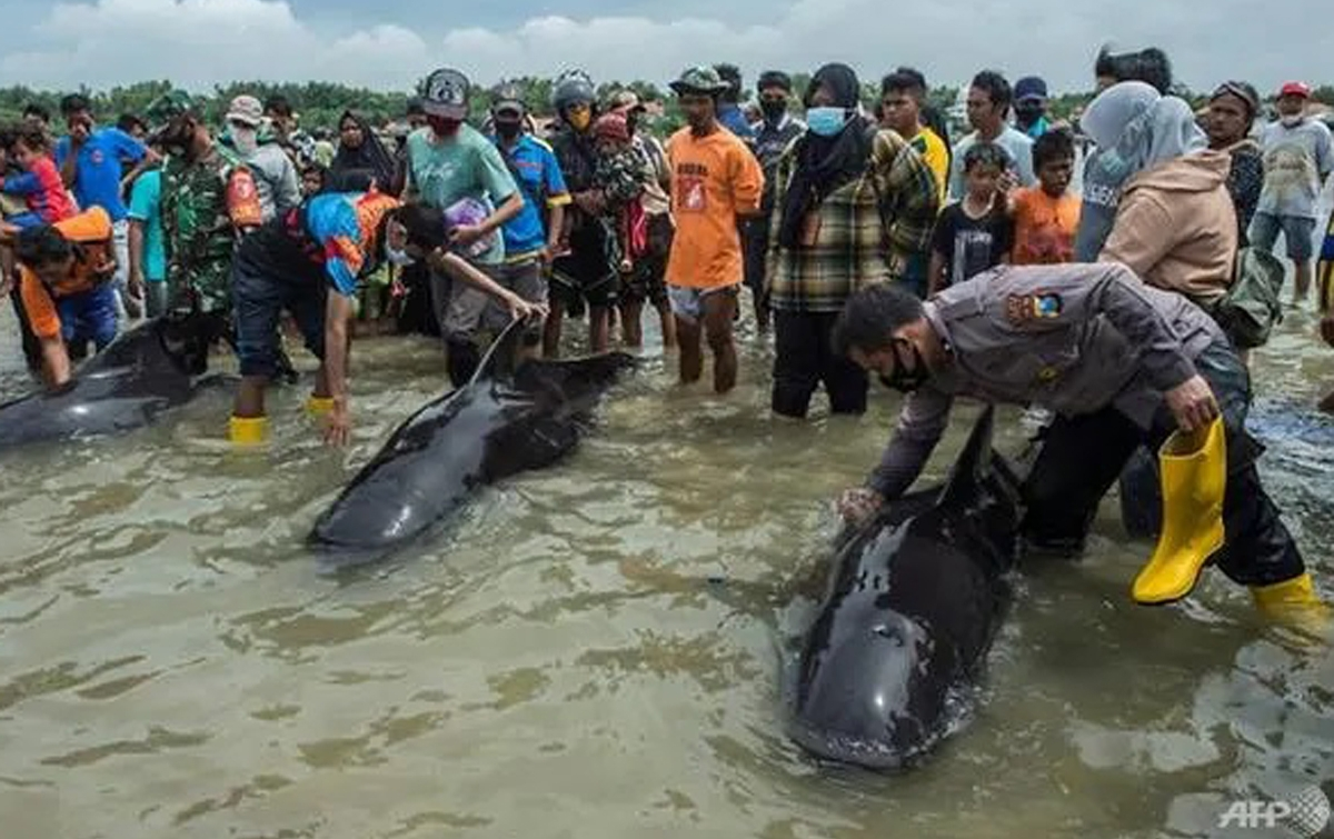 Puluhan Ikan Paus Pilot Mati di Pulau Madura