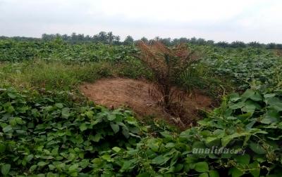 Pohon Kelapa Sawit Rusak, Unit Kebun Bah Jambi Lapor Polisi