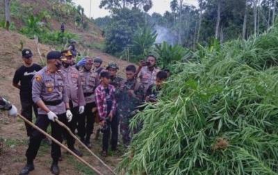 15 Ribu Batang Ganja di Aceh Utara Dimusnahkan