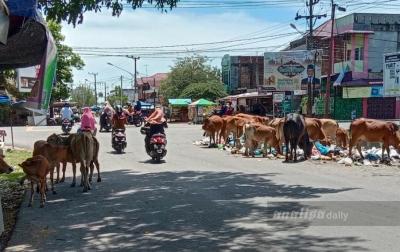 Belasan Lembu Berkeliaran, Satpol PP Terkesan Abai