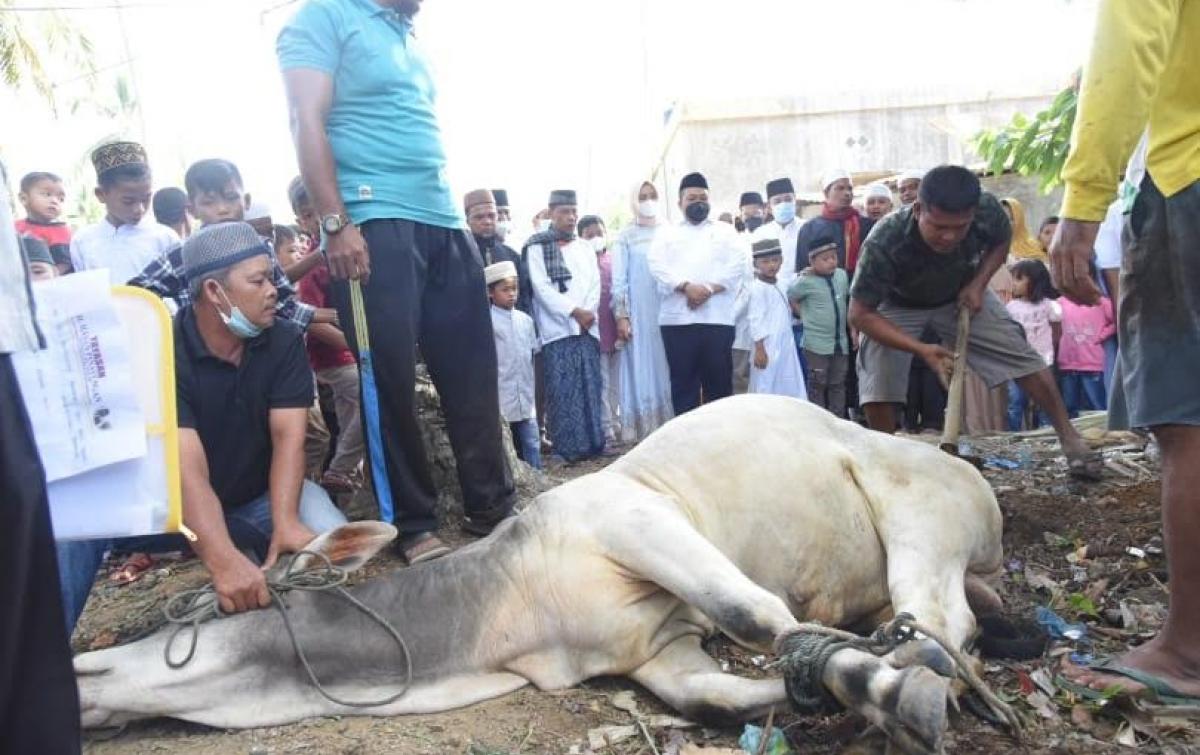 Dolly Serahkan Lembu Kurban ke Desa Sipangko