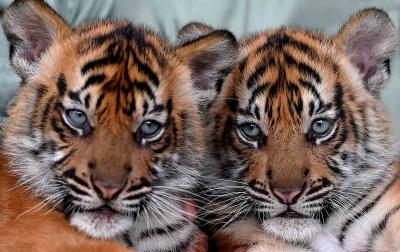 Foto: Bayi Harimau Sumatera Taman Safari Prigen