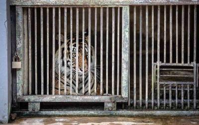 Foto: Harimau Sumatera Terpapar Covid-19