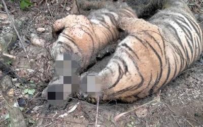 3 Harimau Sumatera Ditemukan Mati di Aceh Selatan, Diduga Terkena Jerat Babi
