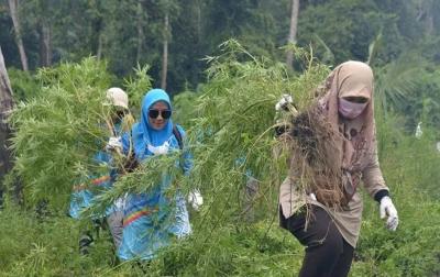 3.5 Hektar Ladang Ganja di Aceh Dimusnahkan