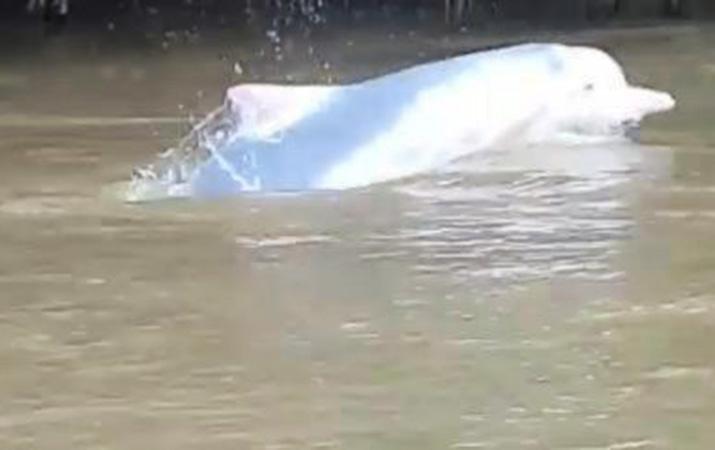 penampakan-lumba-lumba-di-sungai-hebohkan-warga-labuhanbatu-utara