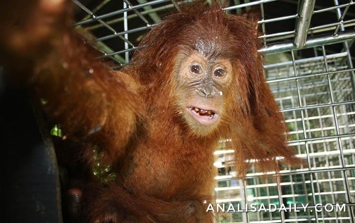 3-orangutan-yang-diselamatkan-dari-penyeludupan-dibawa-ke-pusat-rehabilitasi