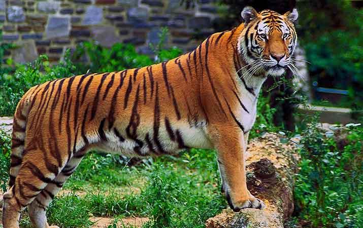harimau-kembali-masuki-pemukiman-warga-di-padang-lawas