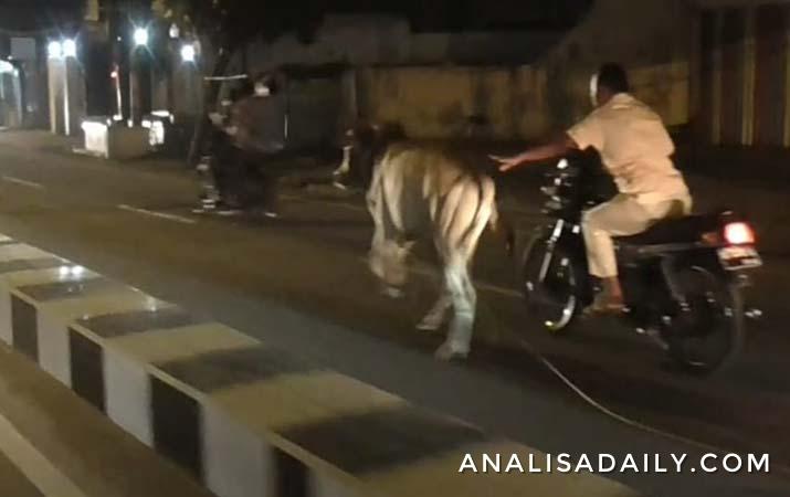 sapi-kurban-lepas-dan-berlari-ke-tengah-kota