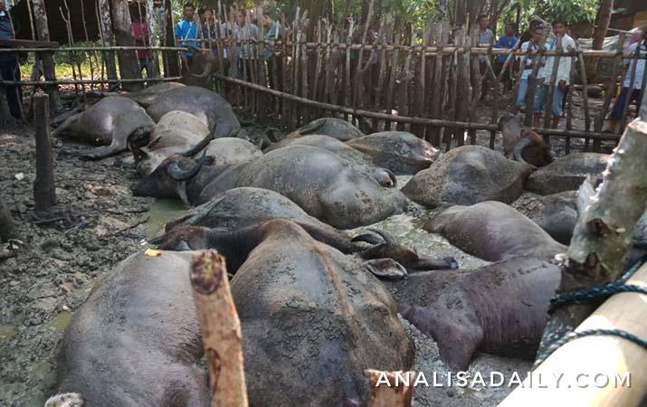 seorang-pengembala-dan-19-ekor-kerbau-tewas-disambar-petir