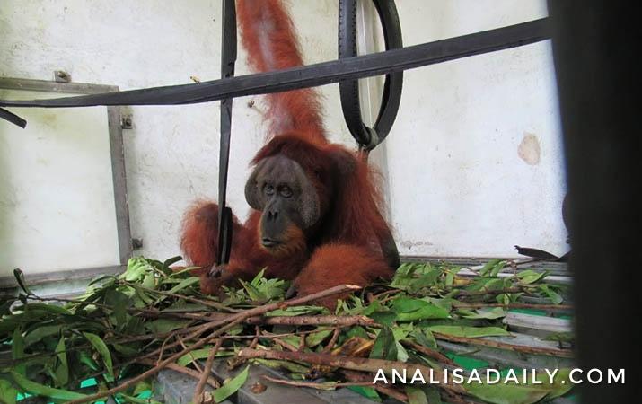 poni-dan-pandi-jalani-pemulihan-di-pusat-rehabilitasi-orangutan-batu-mbelin